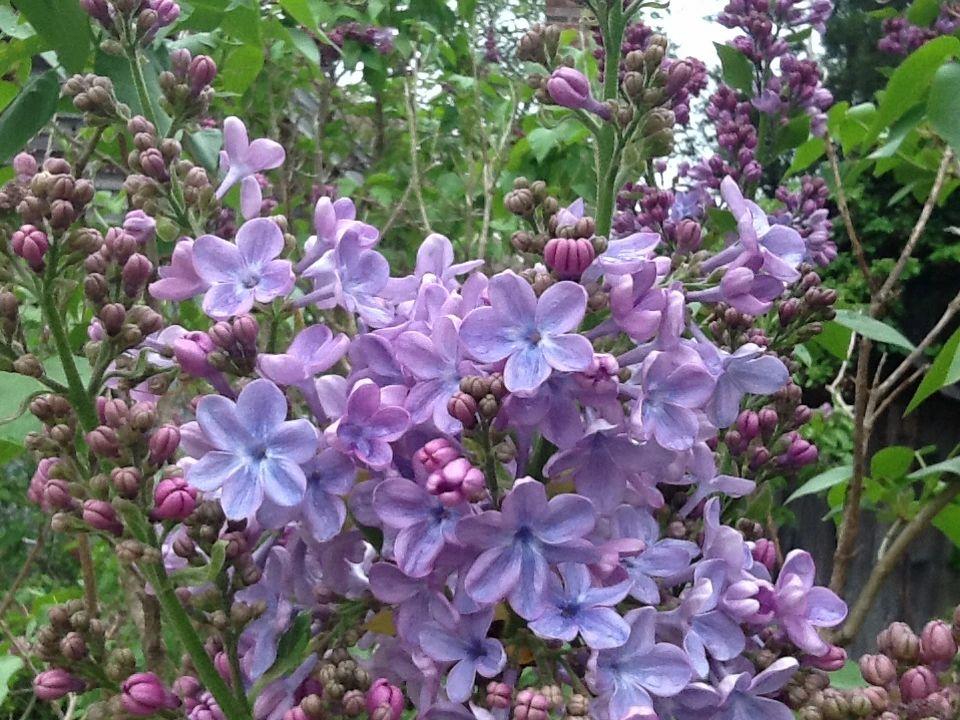 fox hill lilac nursery