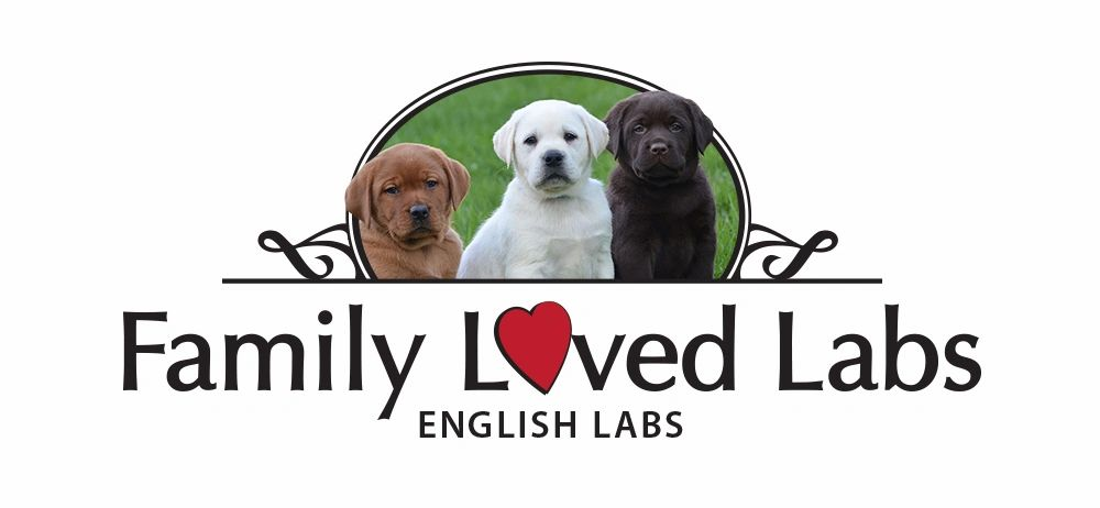 Family Loved Labs - English Lab Puppies for Sale