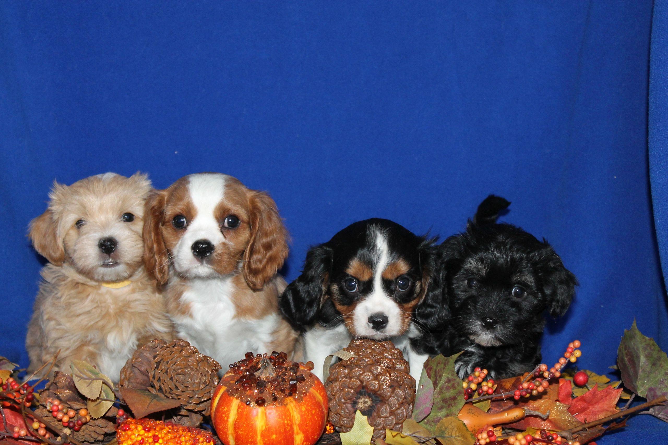 Puppies For Sale Havanese Cavalier Colorado Akc Breeder