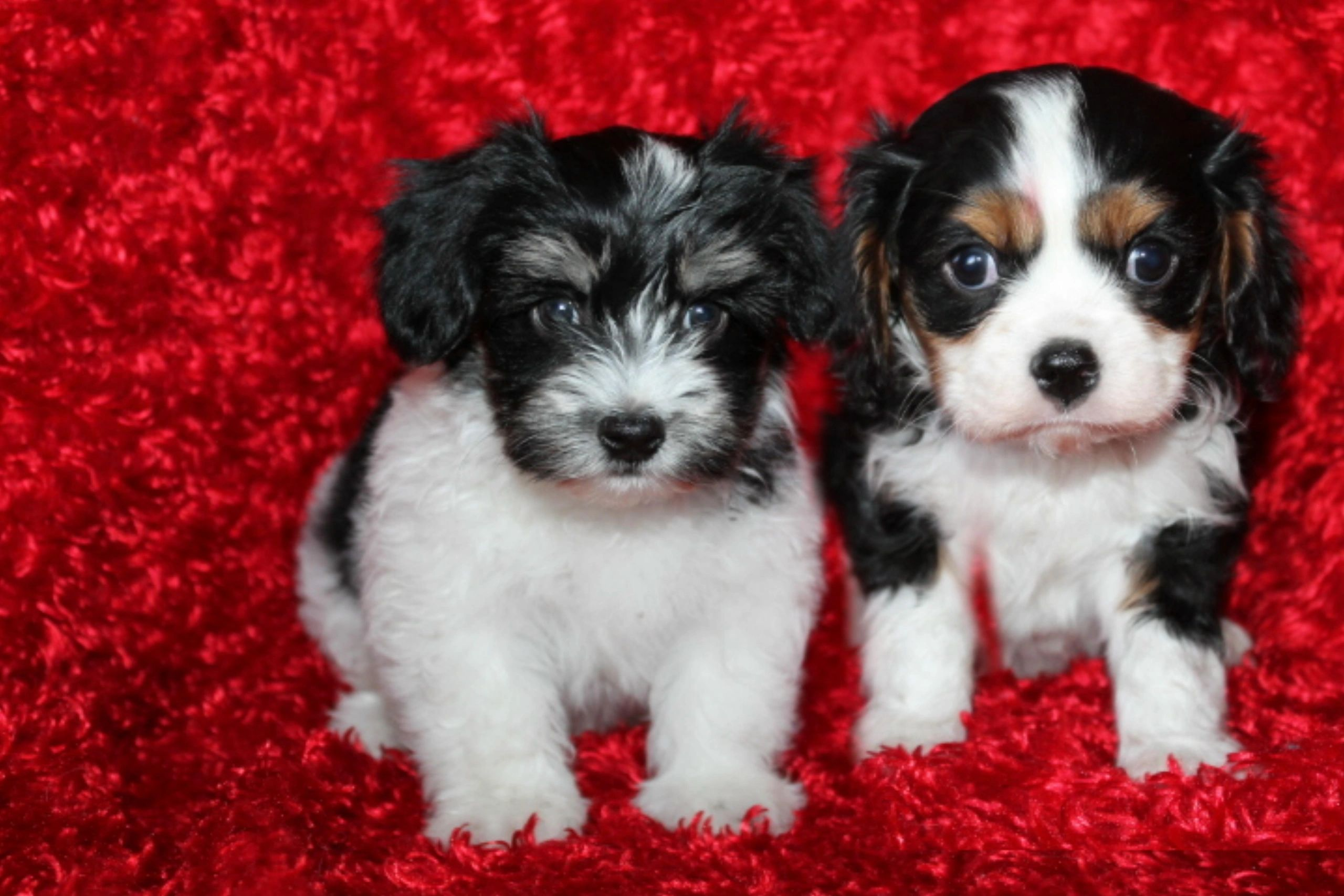 Cottonwood Puppies - Dog Breeder Havanese-Cavalier, Puppies