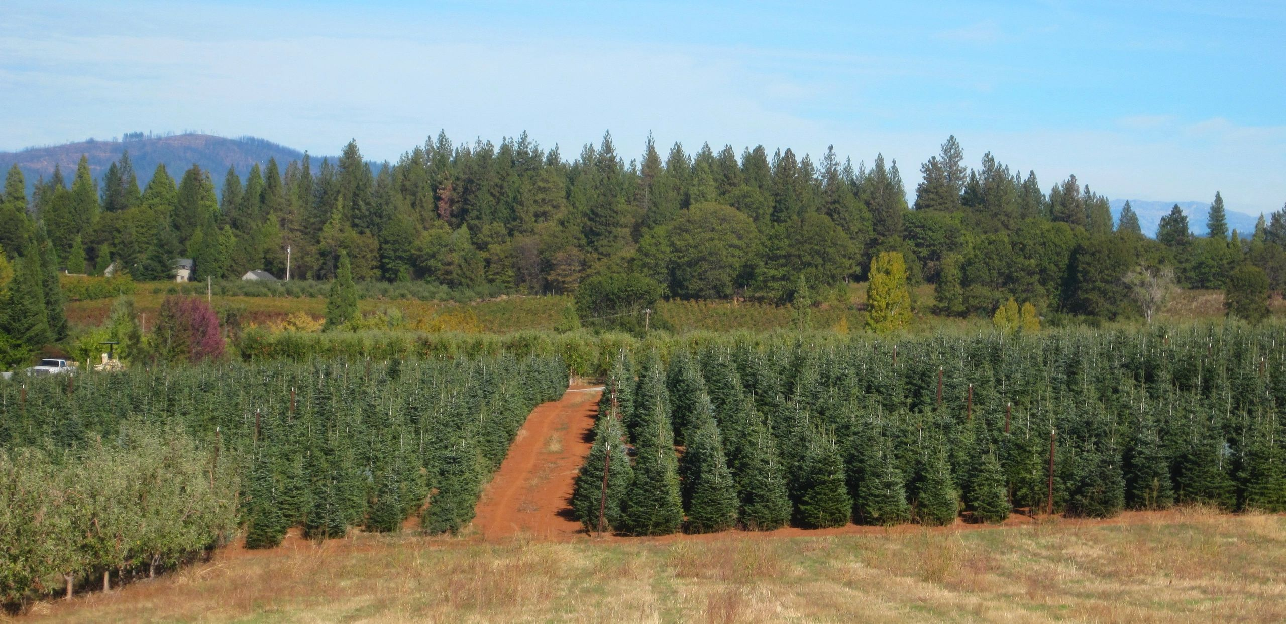 Christmas Tree Plantation