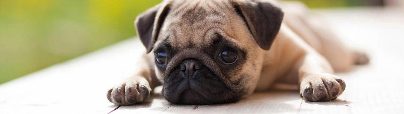 Pug Rescue Sanctuary