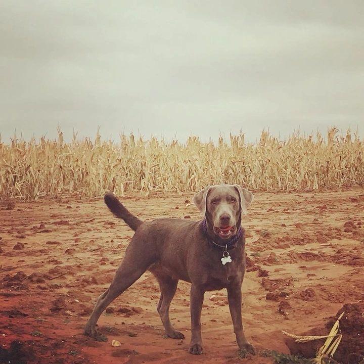 Male Labs | Red Raider Labrador Retrievers