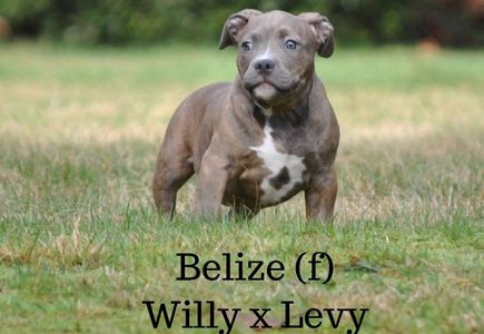 washington state american bully puppy for sake