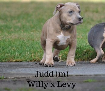 Apartment pit available puppy american bully