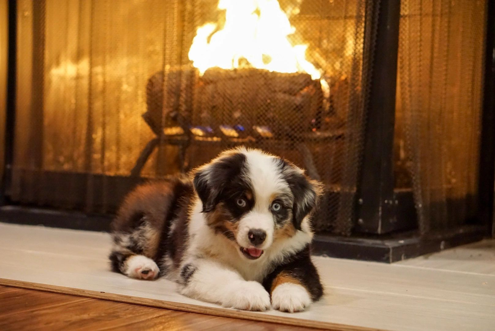 Cedar Valley Ranch - Miniature American Shepherd and Mini