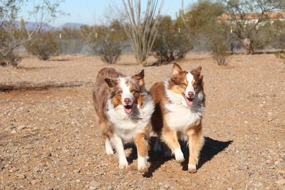 Stella & Lucas, brother and sister Aussies ,that love running in our hiking area!