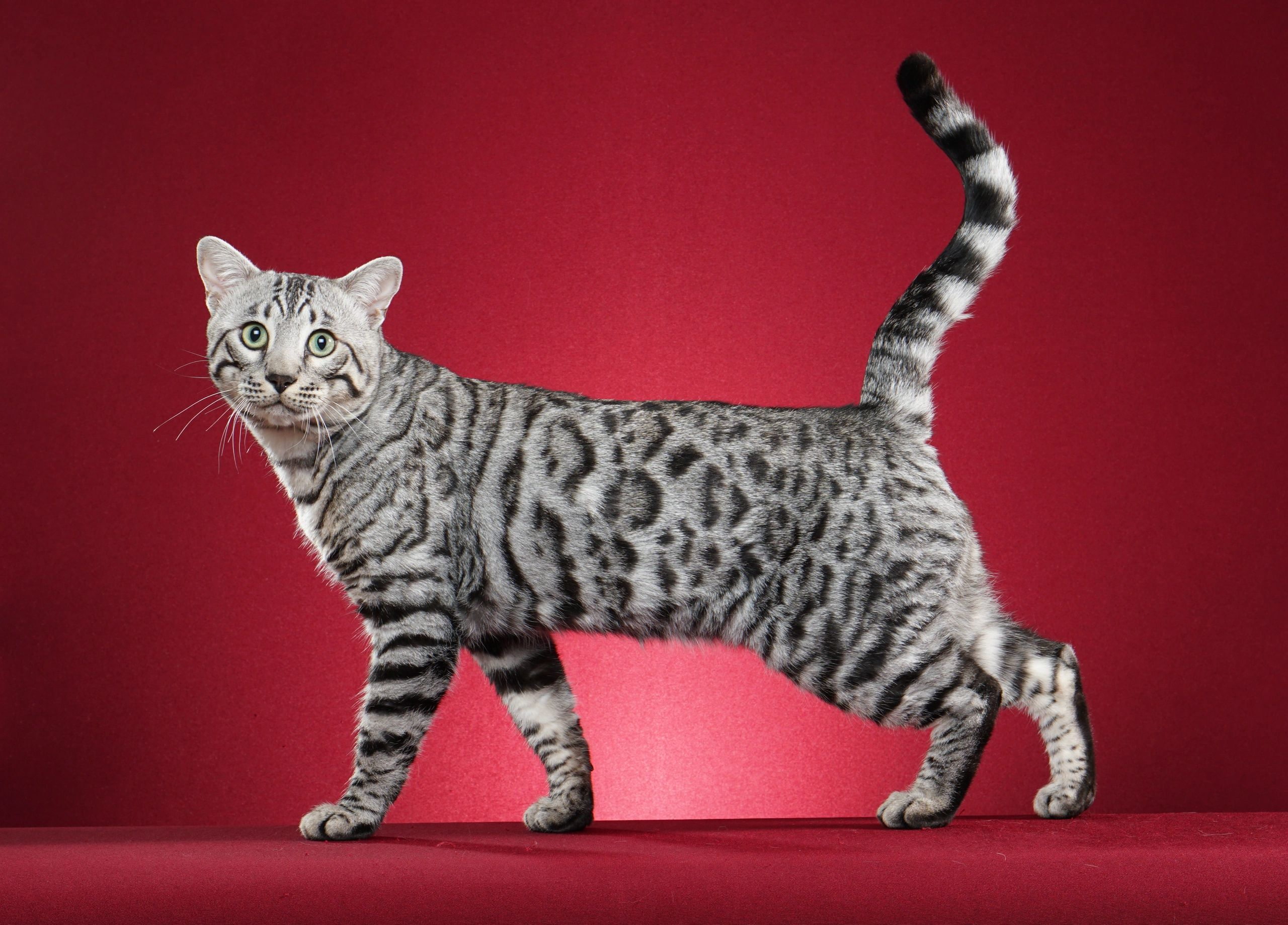 Bengal Cats and Kittens for Sale - Capstone Bengals