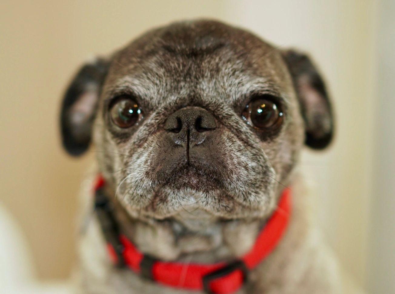 Pug Rescue of Florida - Pug, Rescue