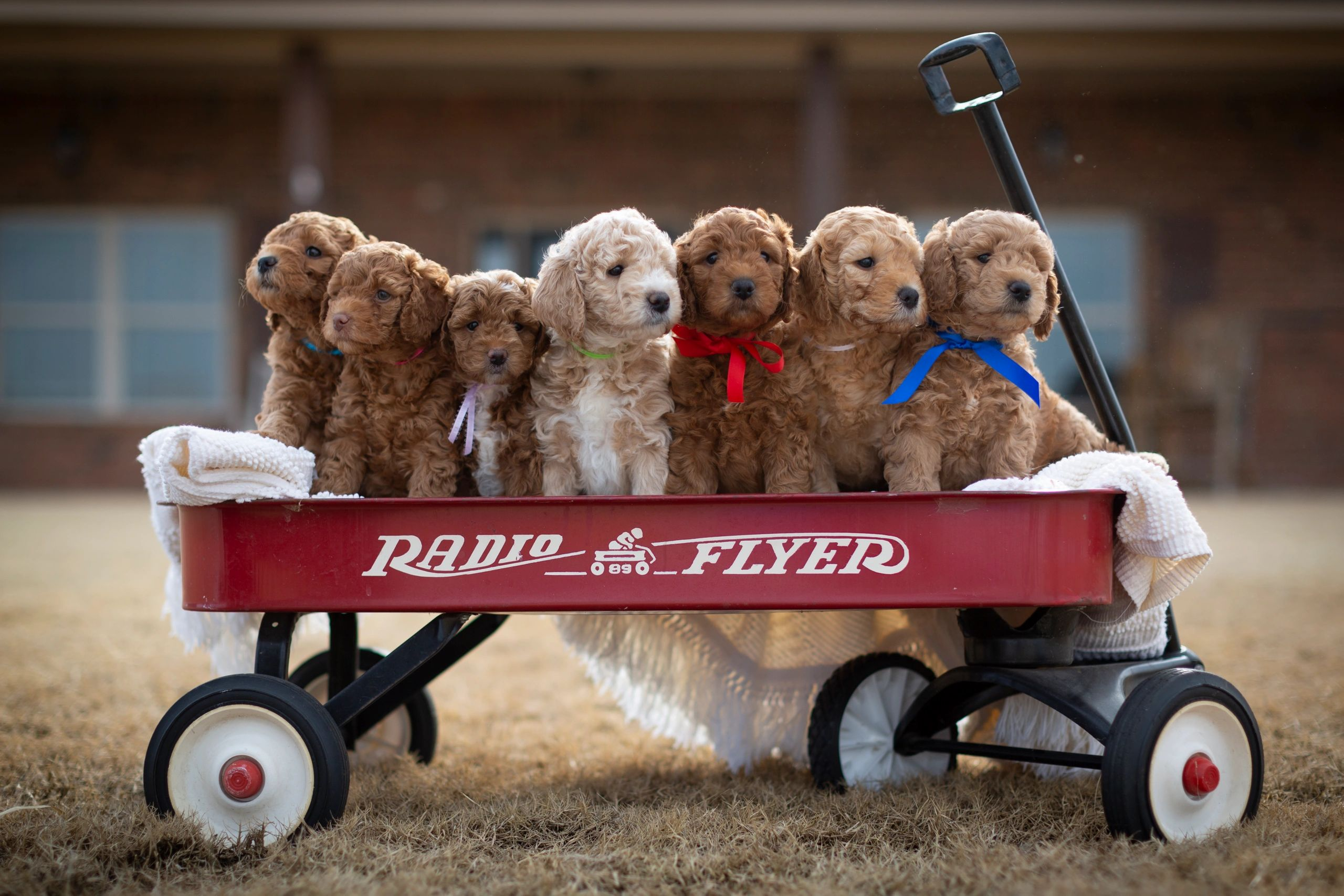 F2b info | its a goldendoodle thing