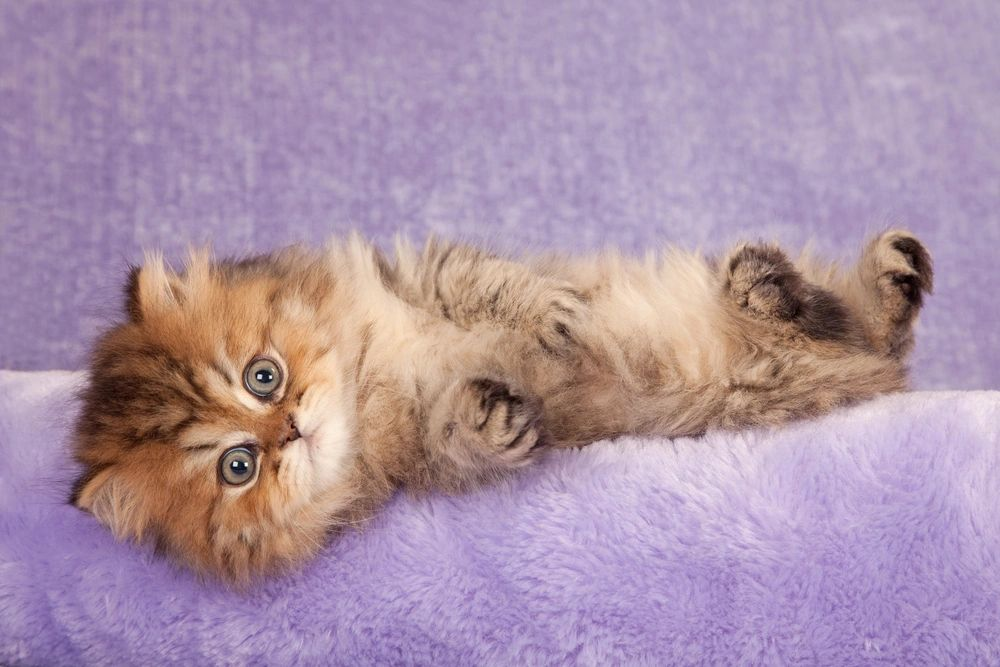 persiankittens com - Persian Kittens for Sale, Teacup