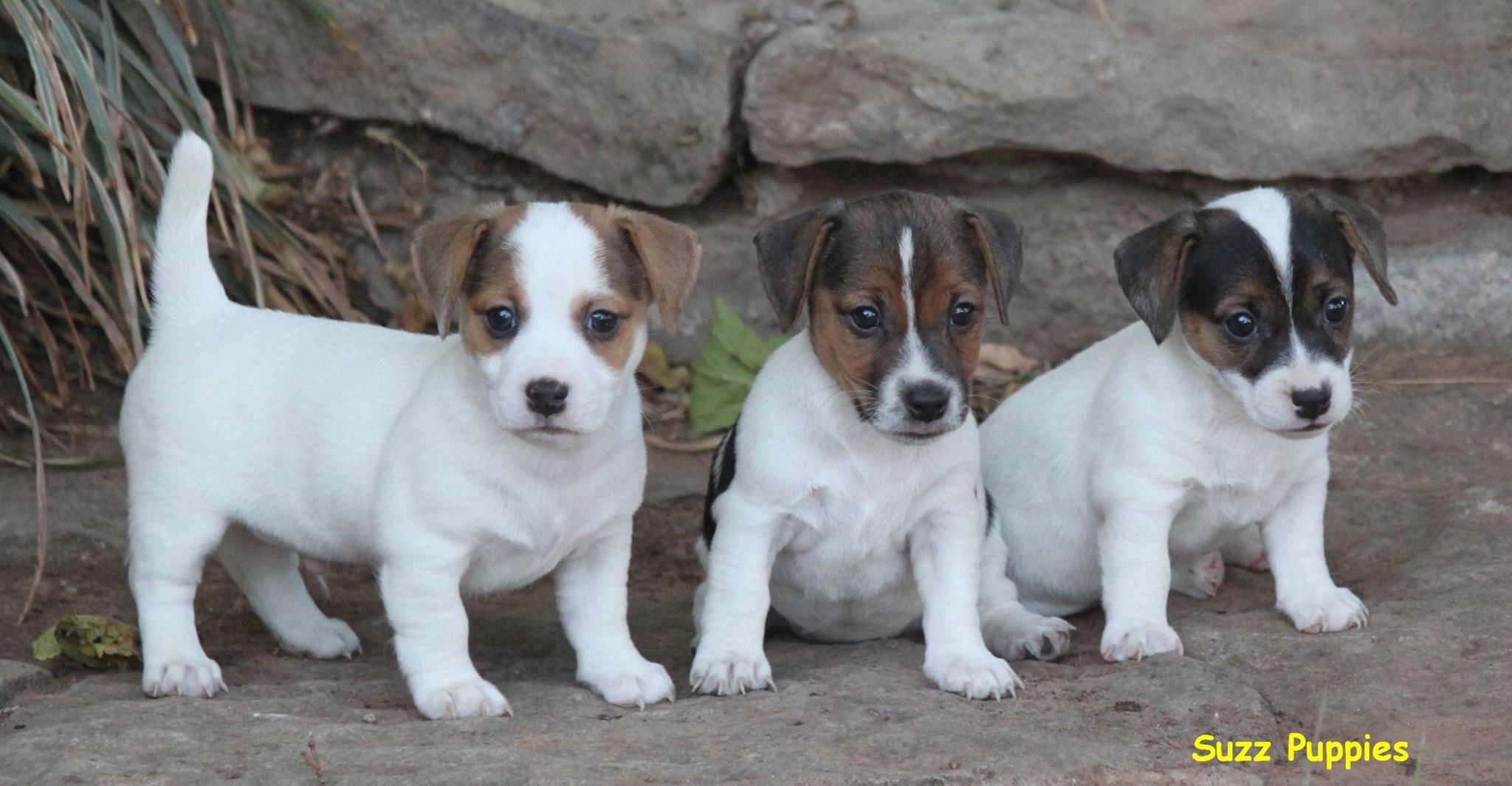 Jack Russell Terrier Puppies for Sale - Cuttin up Jack Russell