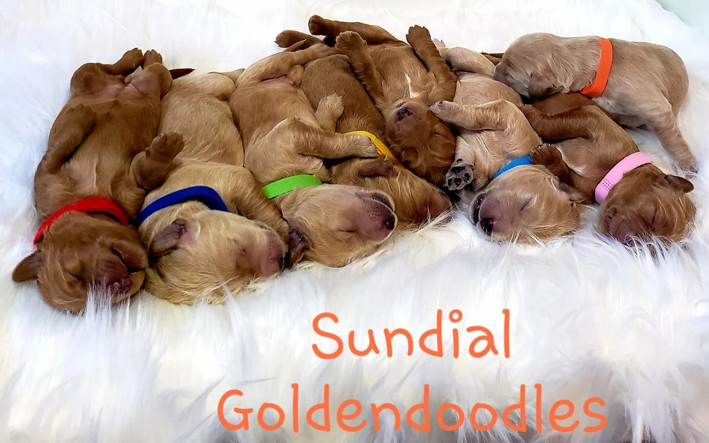 Sundial Goldendoodles - Goldendoodle, Puppies, Breeder