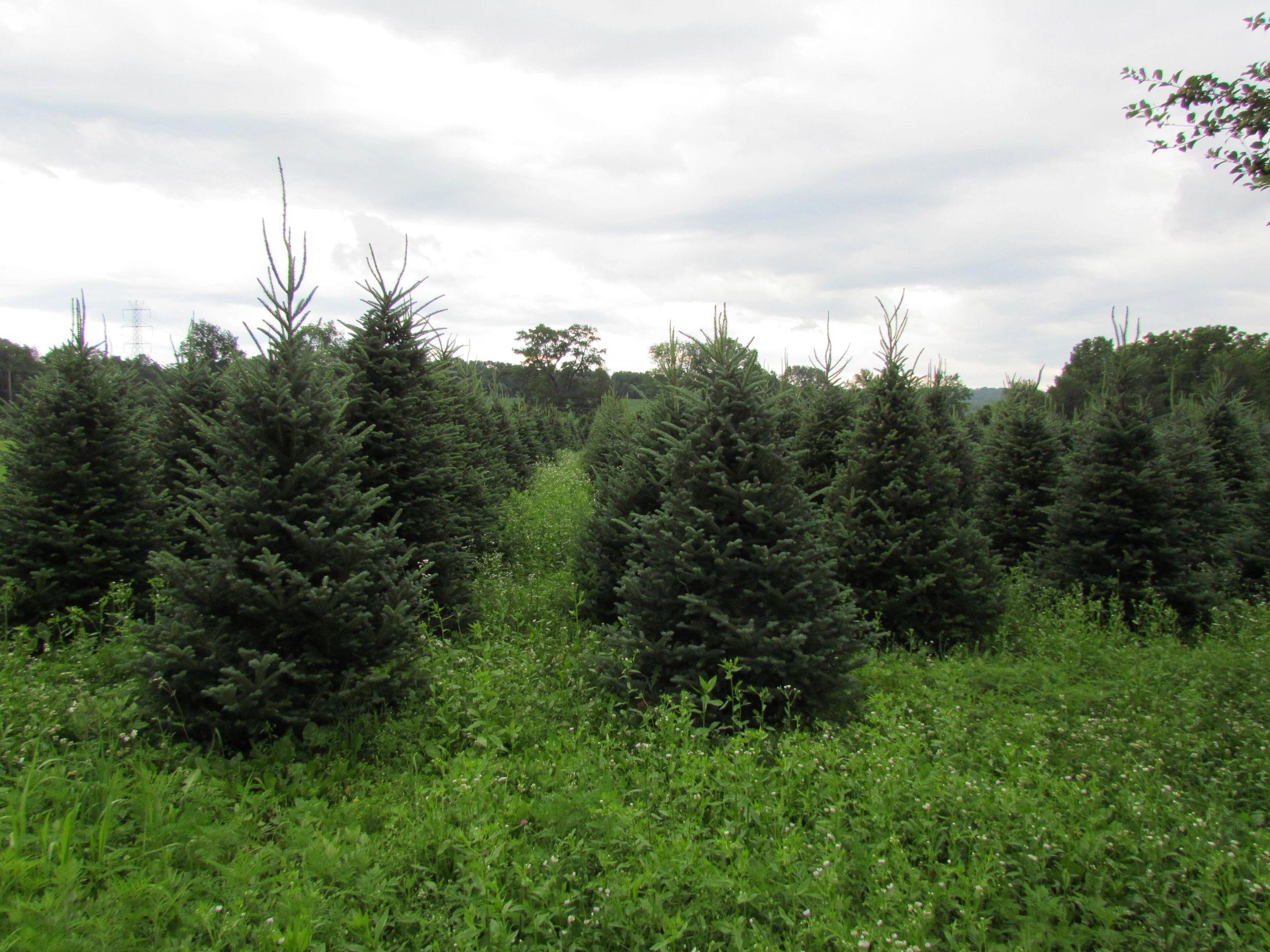 Triple Creek Farm and Nursery - Christmas Trees, Nursery, Tree Farm