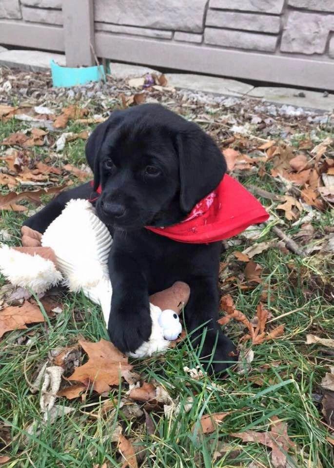 RLF Labradors - Labrador Puppies, Labrador Puppy for Sale | RLF