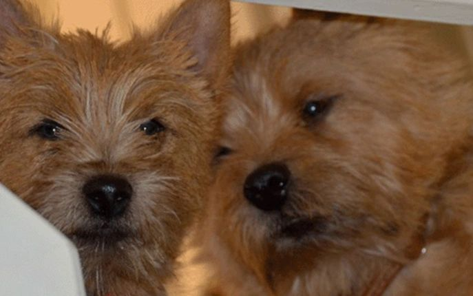 Our Girls | Wichunt Norwich Terriers