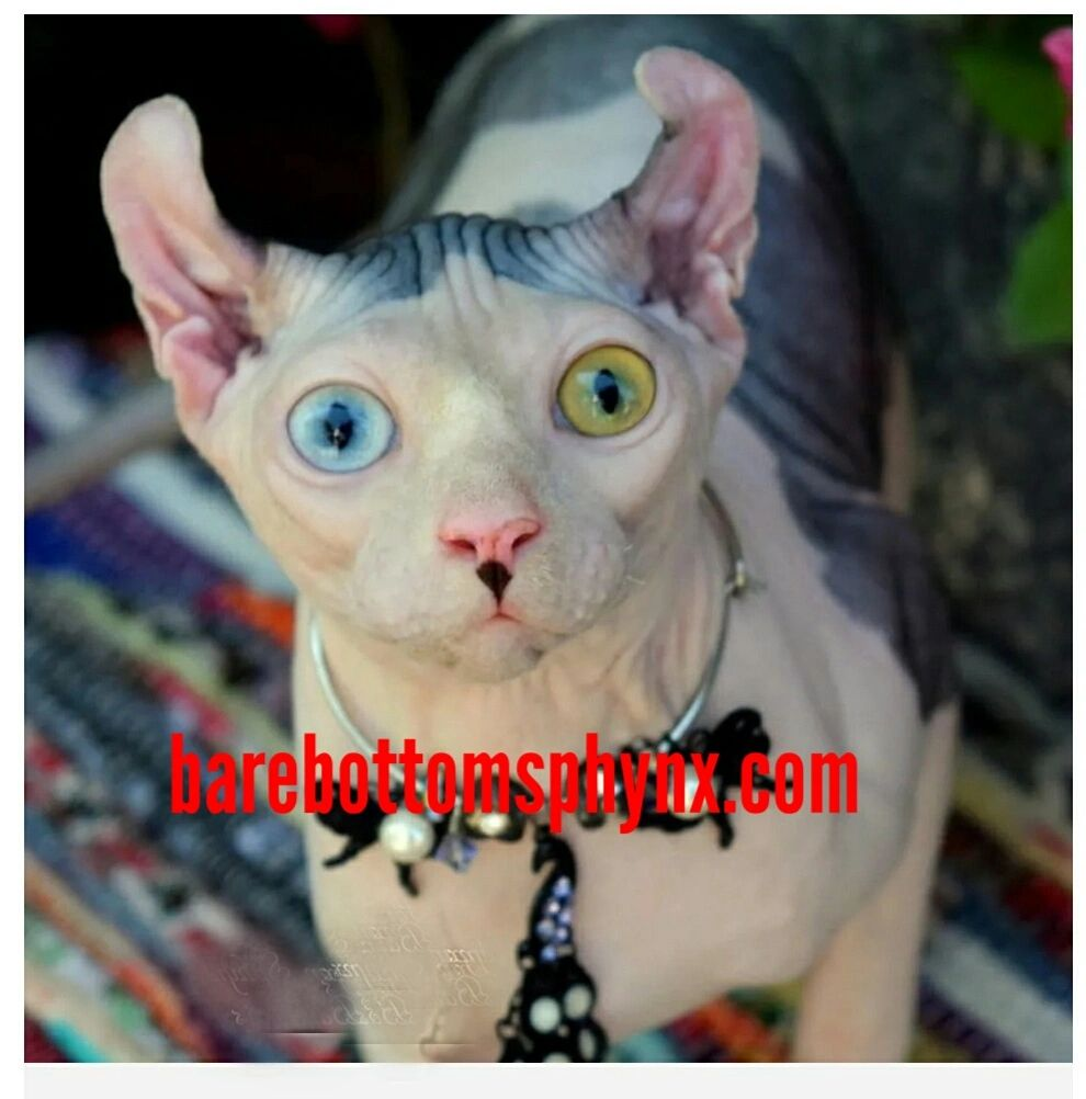 Bare Bottom Spynx - Sphynx Cat, Sphynx Cat Kitten, Hairless Cat