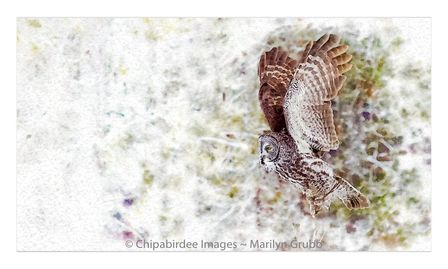 A Great Gray Owl lifts from his snowy perch.   One of my Photoshopped images.