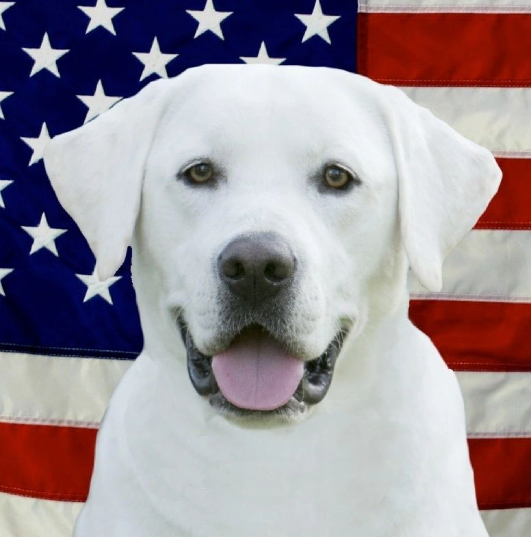 White Lab Puppies - Top Dawgs - Home