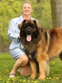 International Champion, Canadian Grand Champion and winner of 2017 Leonberger Club of Canada Nationa