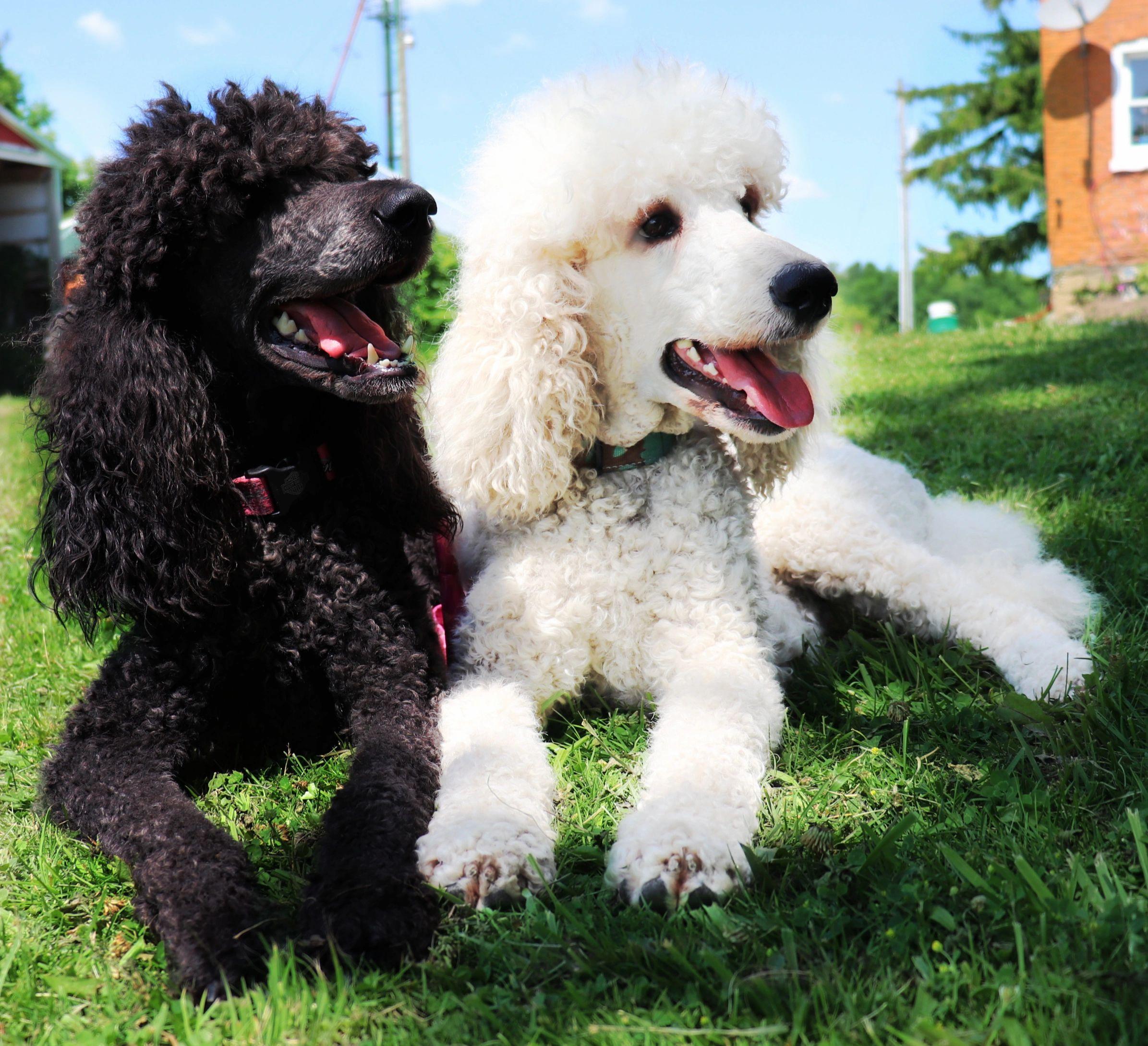 Double A Standard Poodles Standard Poodles Ontario Breeder