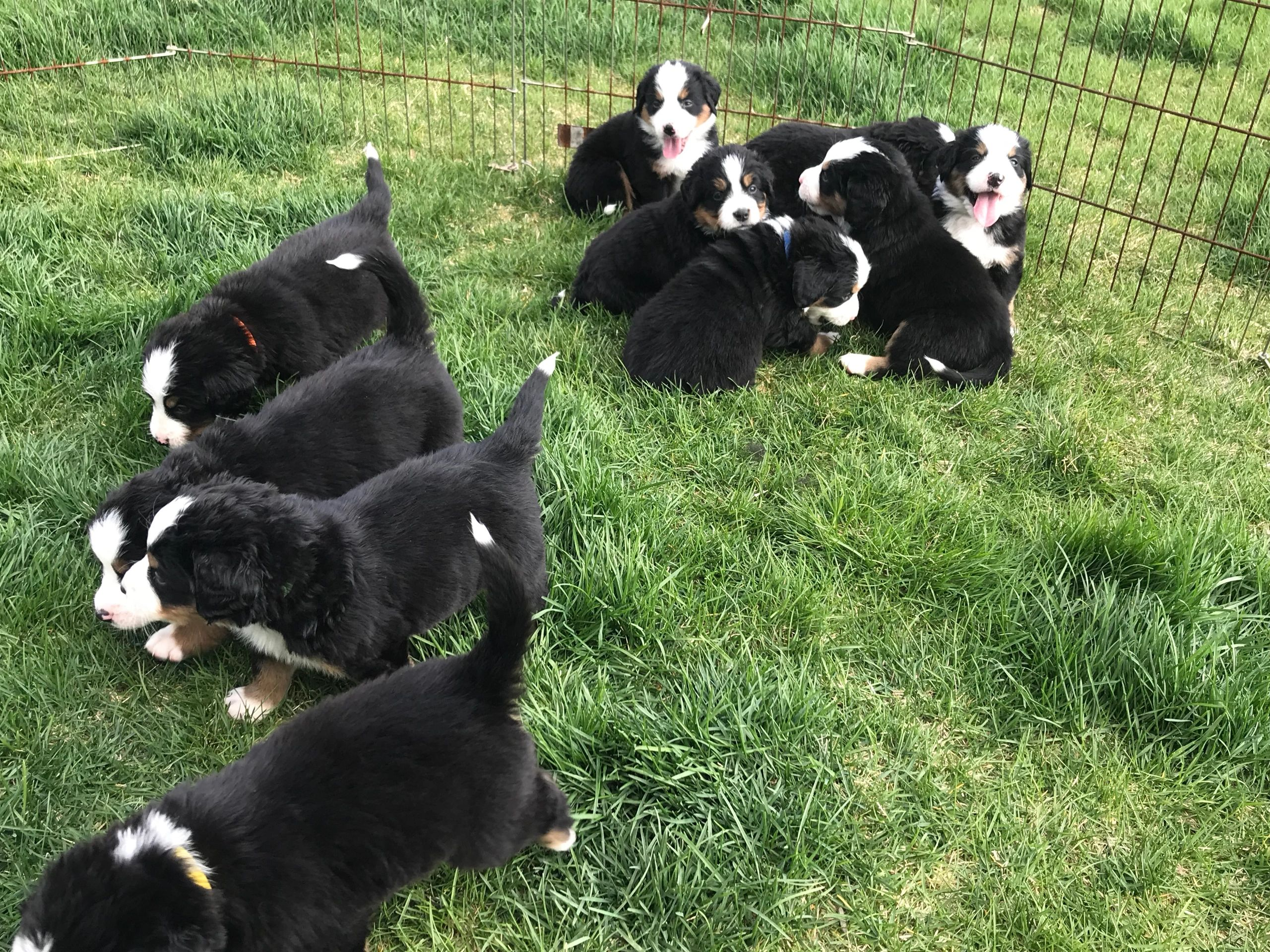 Midwest Mountain Dogs