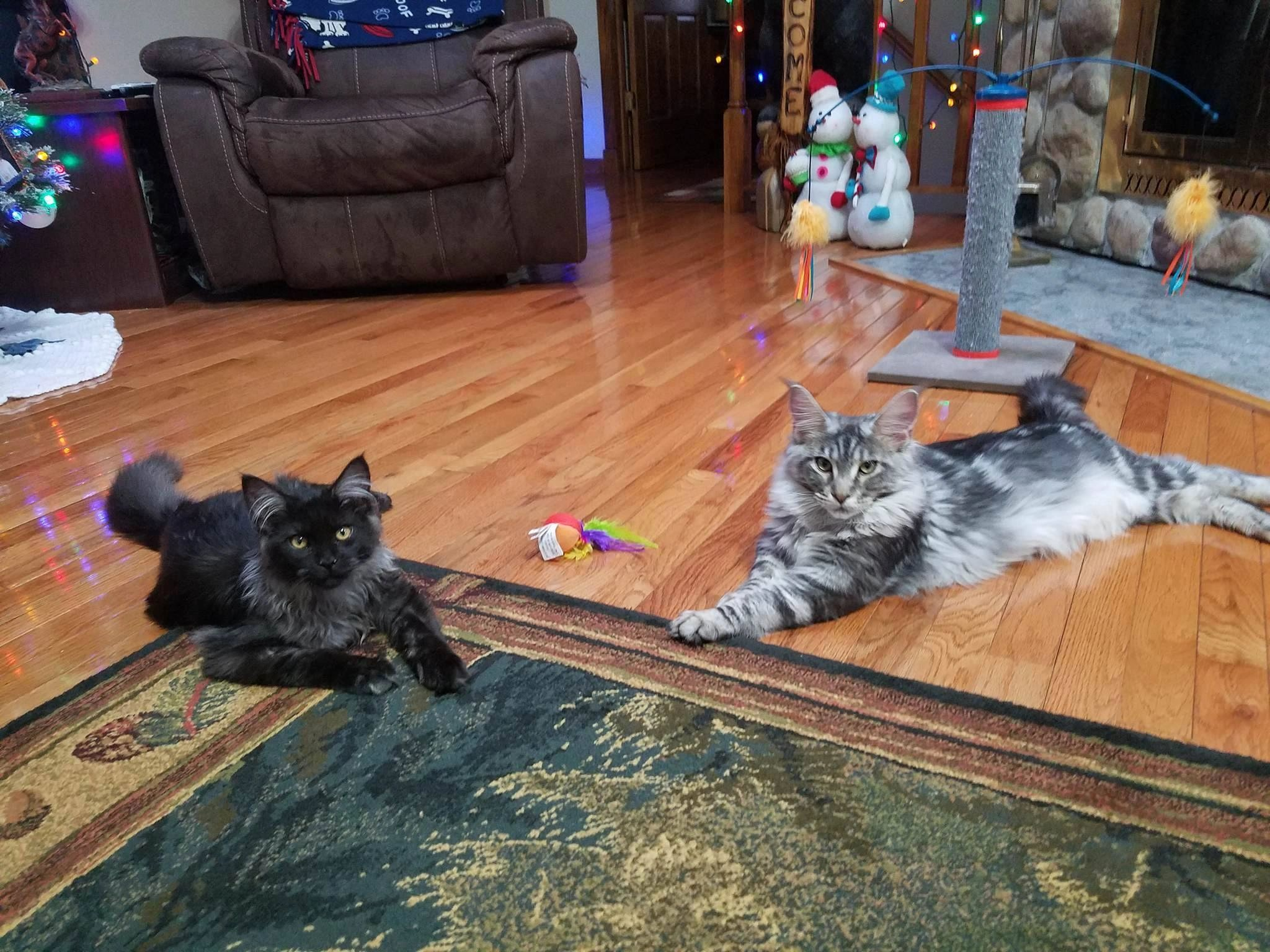 Maine Coons Maine Coon Breeder Maine Coon Kittens
