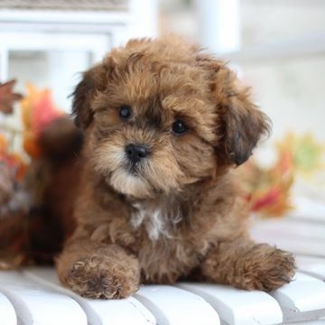 TeddyBear Puppies ForSale   TimberCreek Puppies