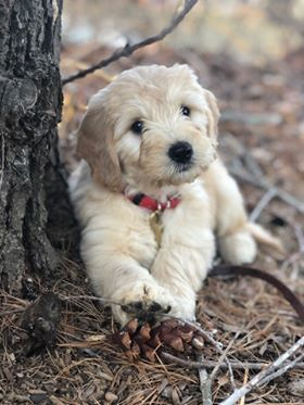 Acadia Goldendoodles Goldendoodles Puppies Puppies For Sale
