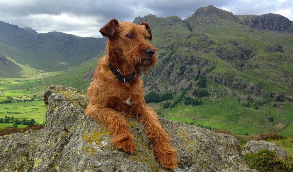 Irish Terrier The Irish Terrier Association