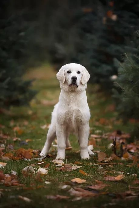 European Golden Retriever - Elite Euro Goldens