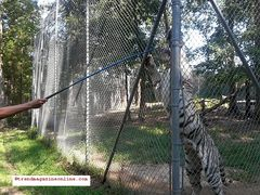 Tiger World Rockwell NC Travel Review Part III