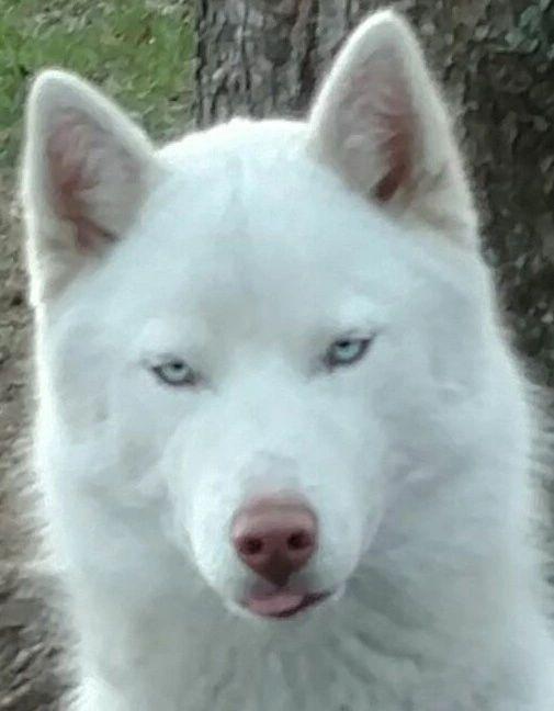 Siberian Husky For Sale In Tn Bookers Siberian Huskies