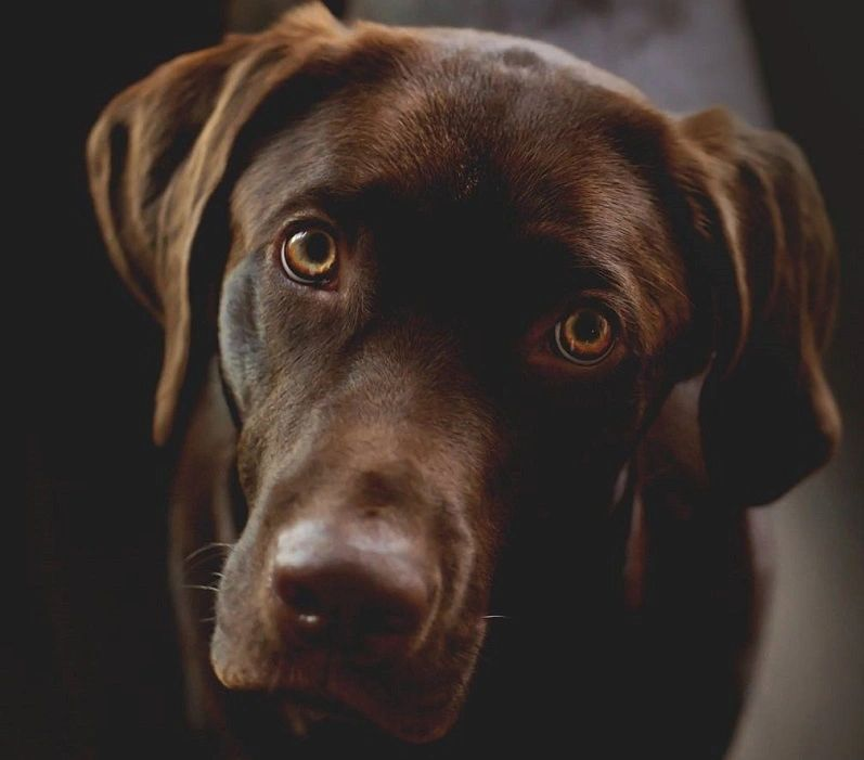 Labrador Retriever Breeder Ontario - Lucky Labs