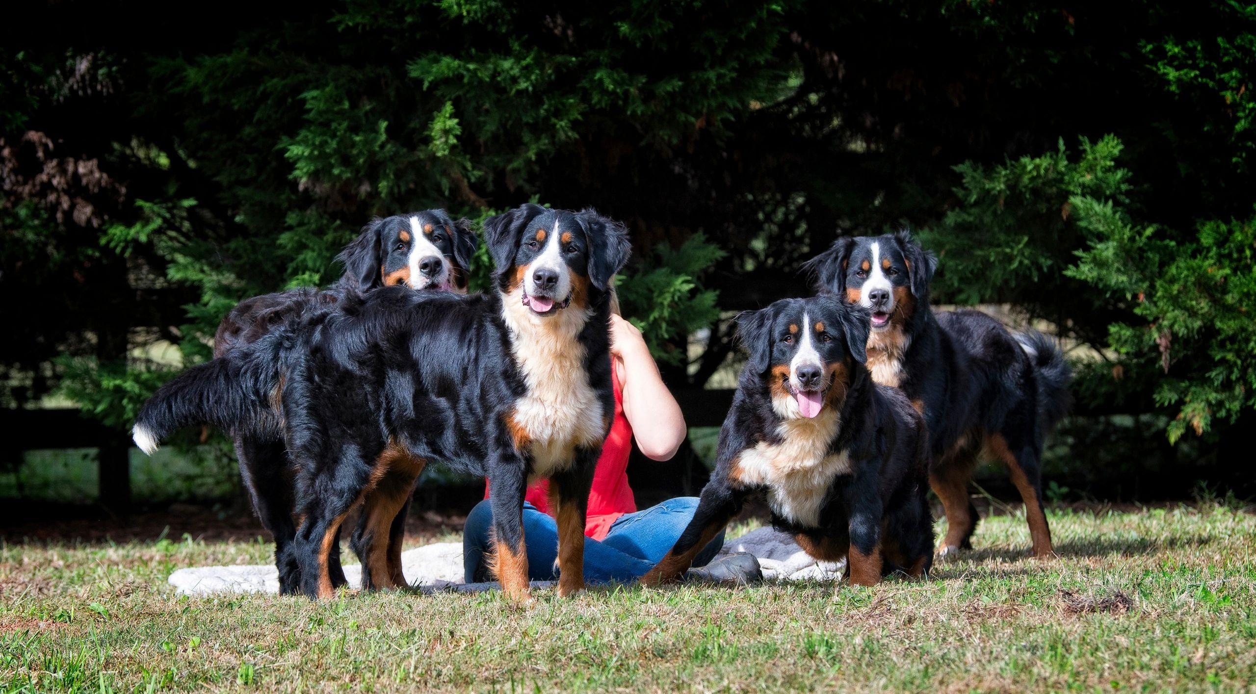 Brooks Berner Bears Pets Akc Puppies Bernese Mountain