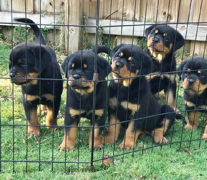 Vom Hause Franeta - Rottweiler Puppies, Rottweiler Breeder