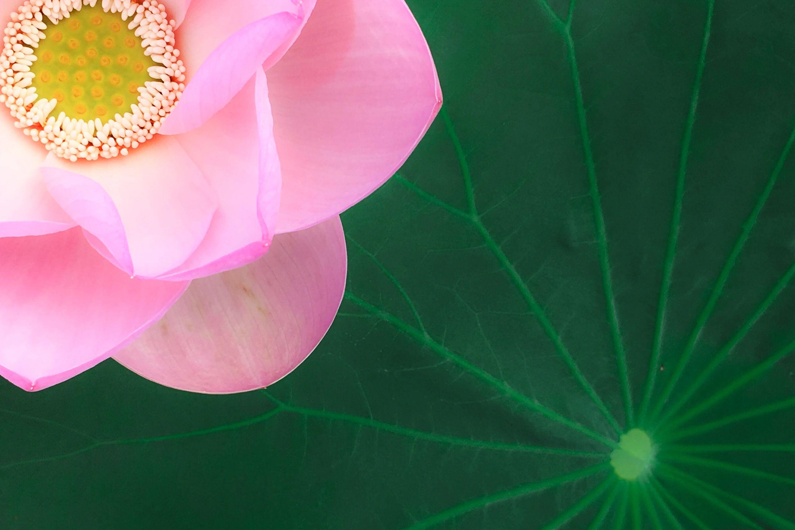 Pink Lotus Petals Wellness Astrology Tarot Reading