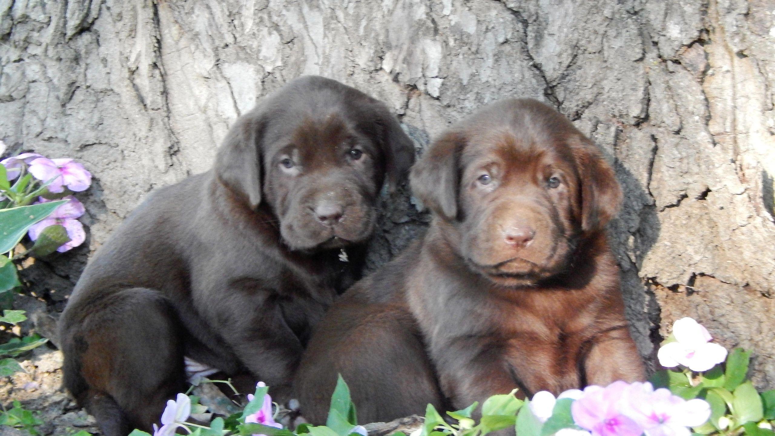 Sugar Babes Labradors - Labrador Breeder, Puppies
