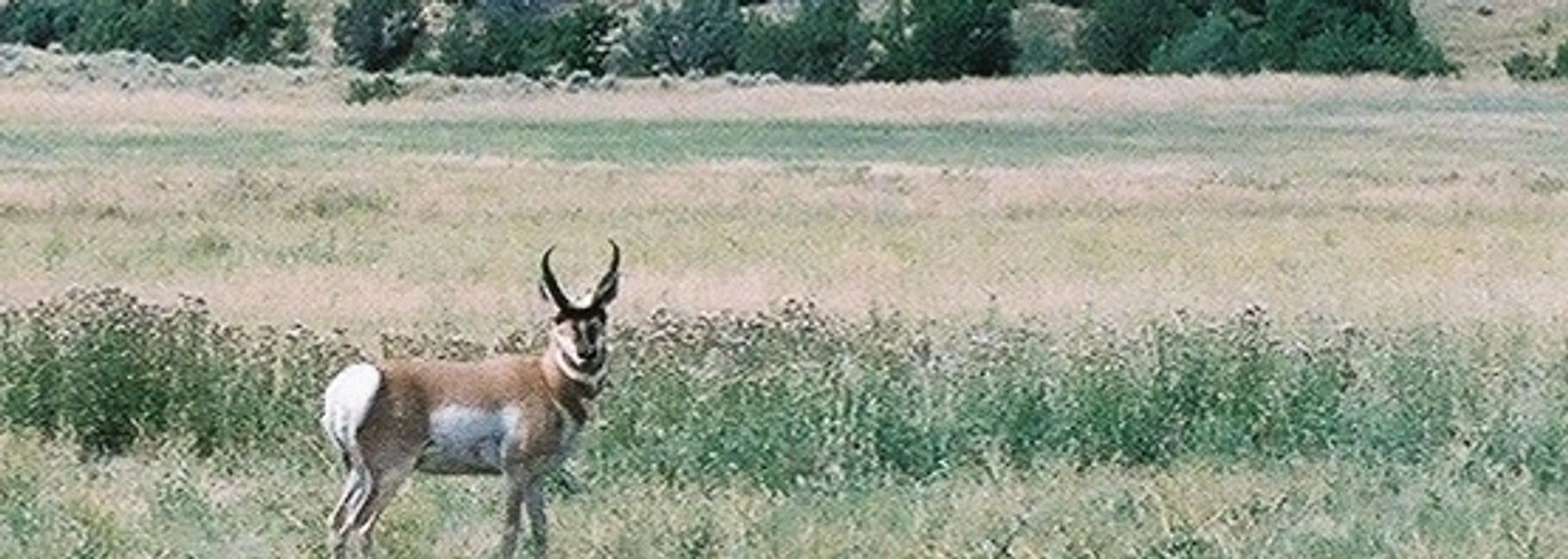 Pronghorn came over for a visit while we were shooting Prairie Dags