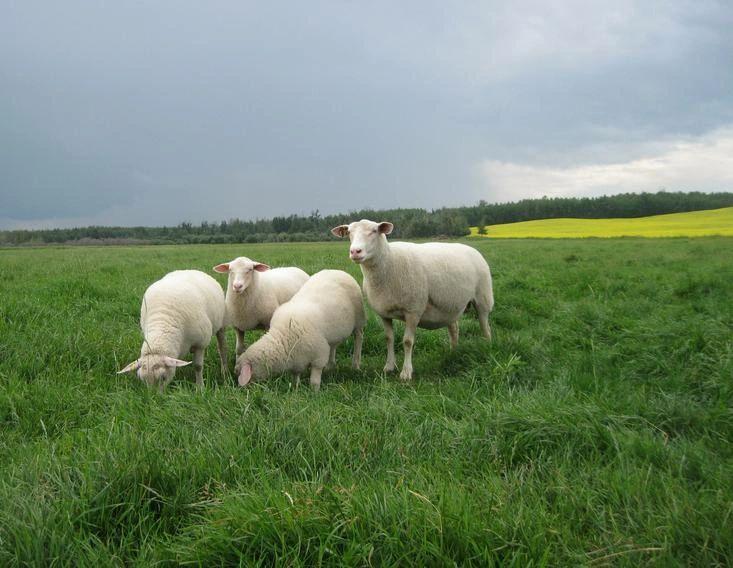 Rideau Arcott | Alberta Sheep Breeders' Association