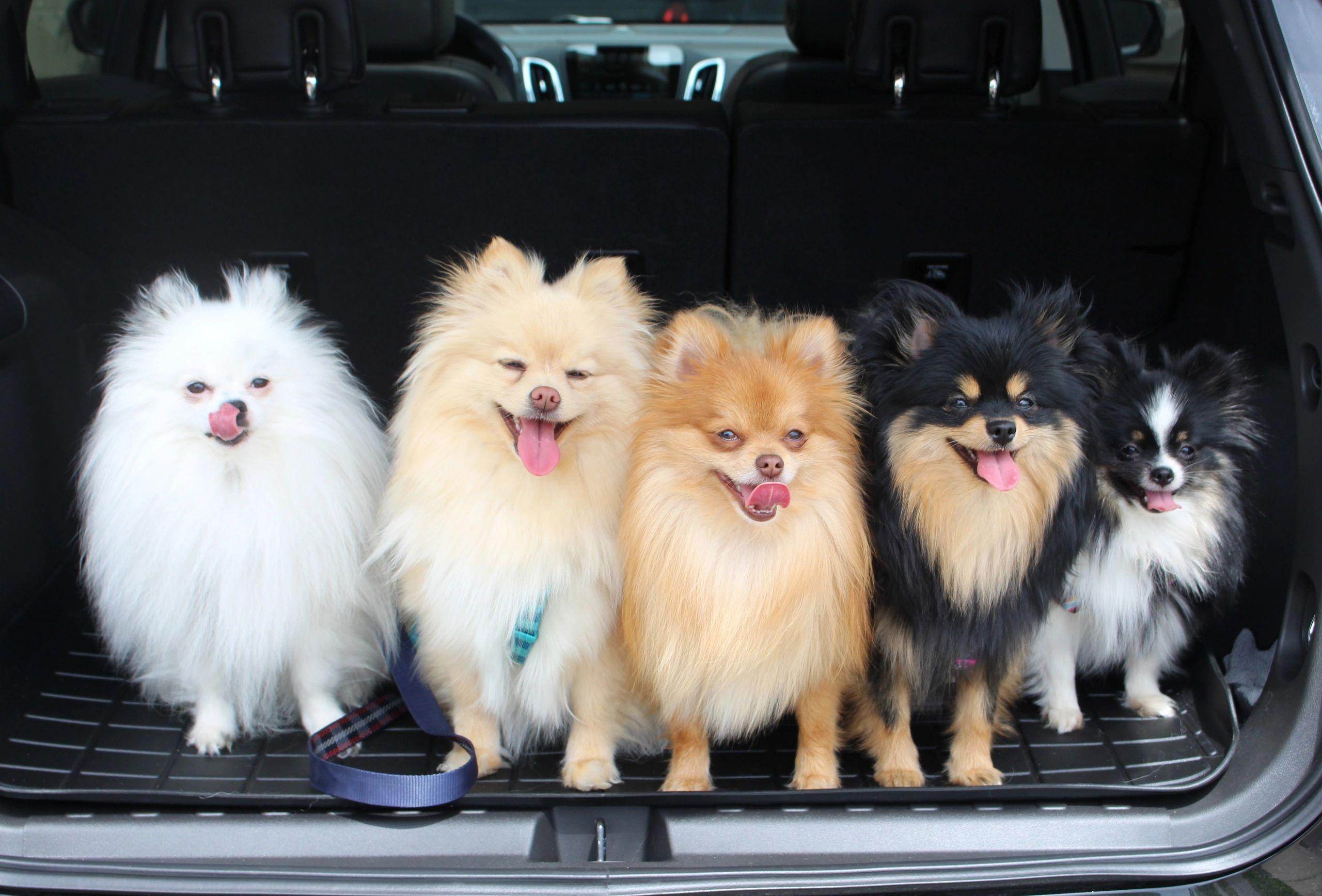 About Pomeranians Regalpoms