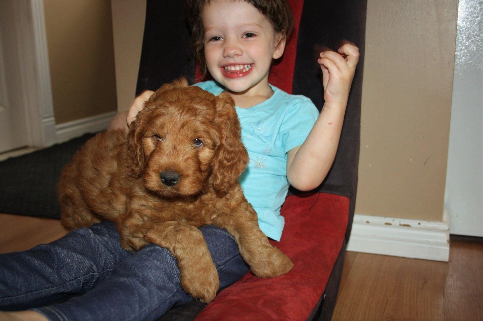 Goldendoodle Puppies Golden Doodle Oasis