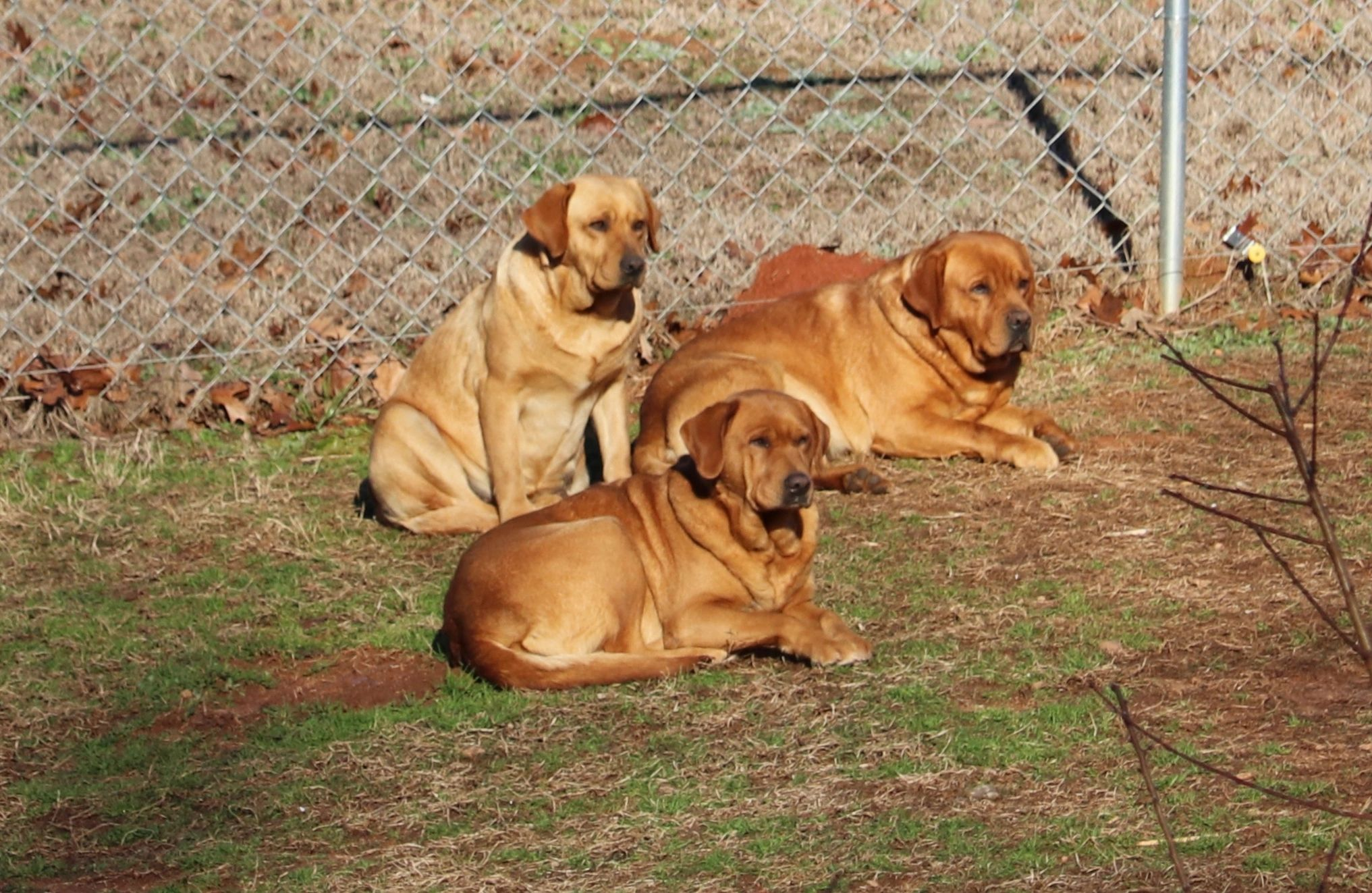 Ember Rays Labradors - Labrador Puppies, Fox Red and Yellow Labs