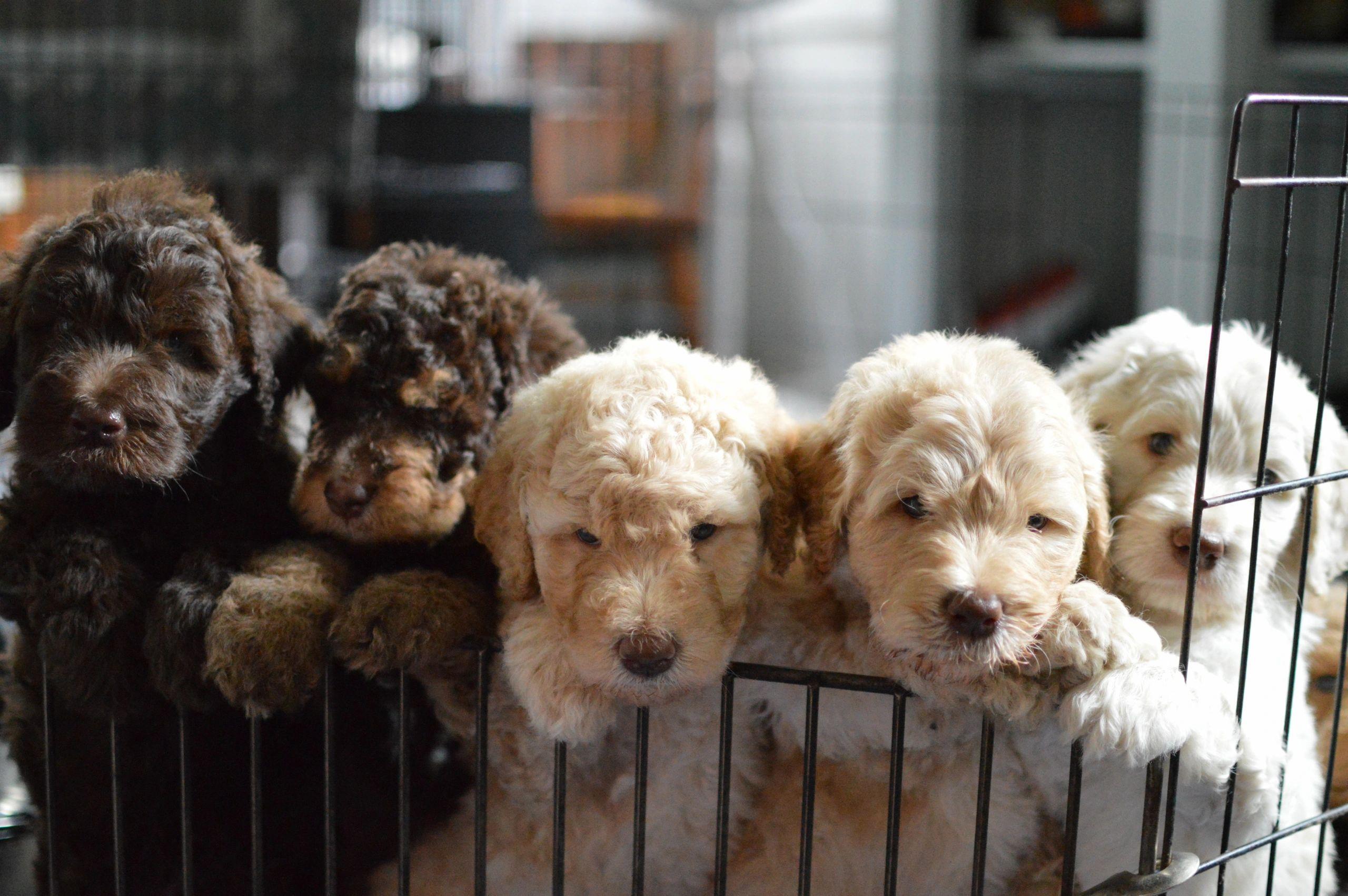 Riverhouse Doodles Doodles Dogs Puppies