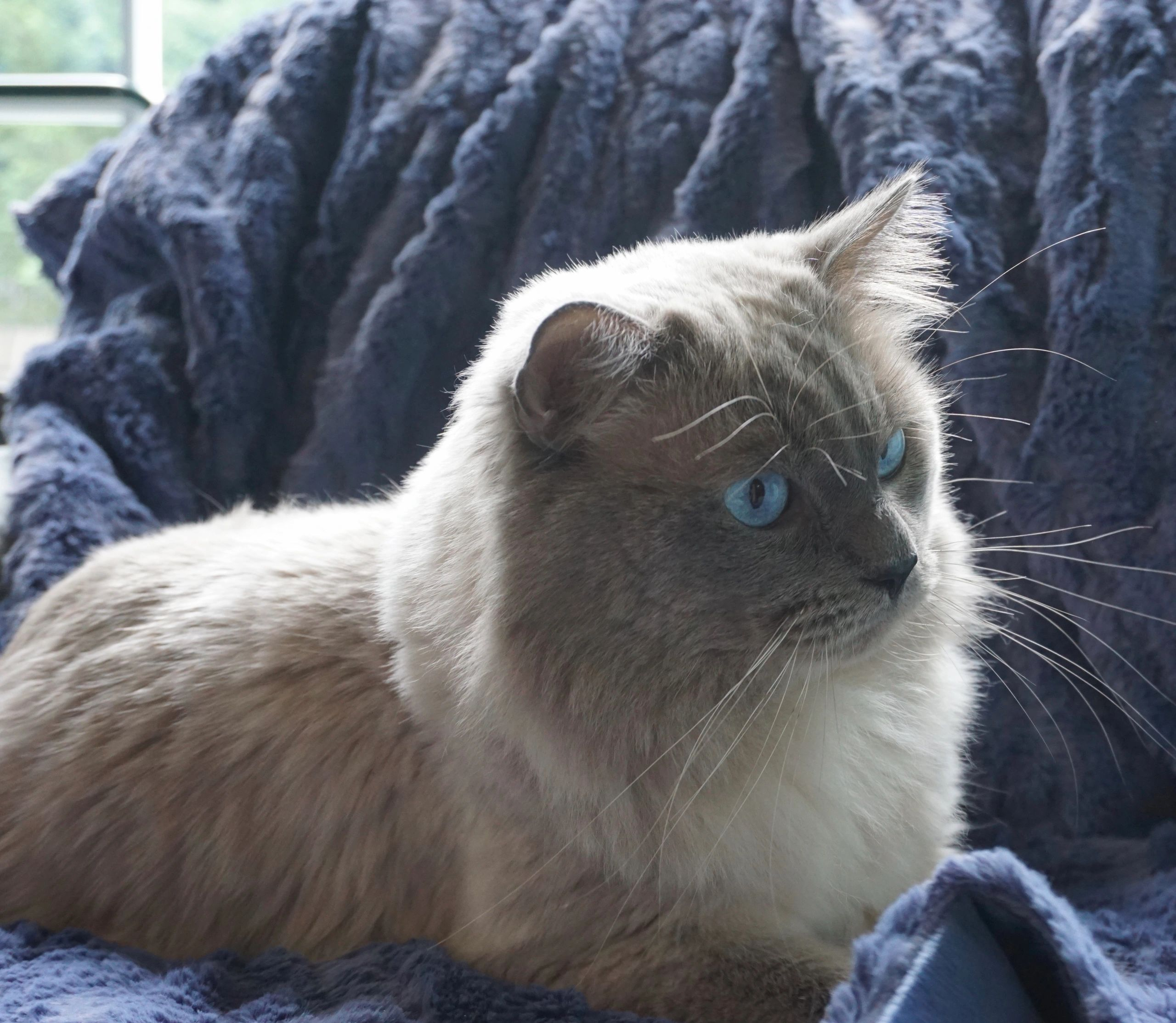 Siamese And Balinese Cat Breeder Indigo Cats Of Pa