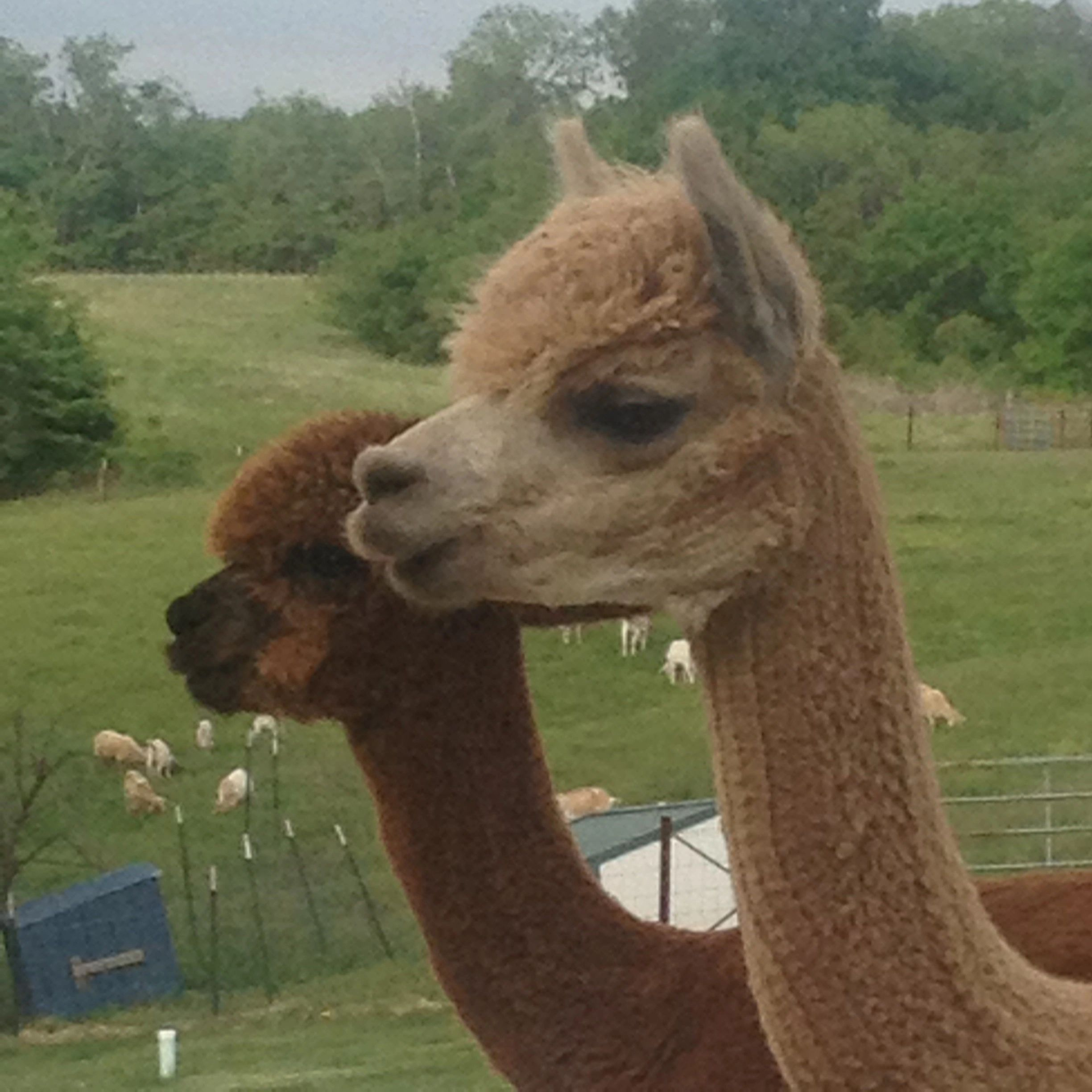 Why Alpaca What Ah View Farm