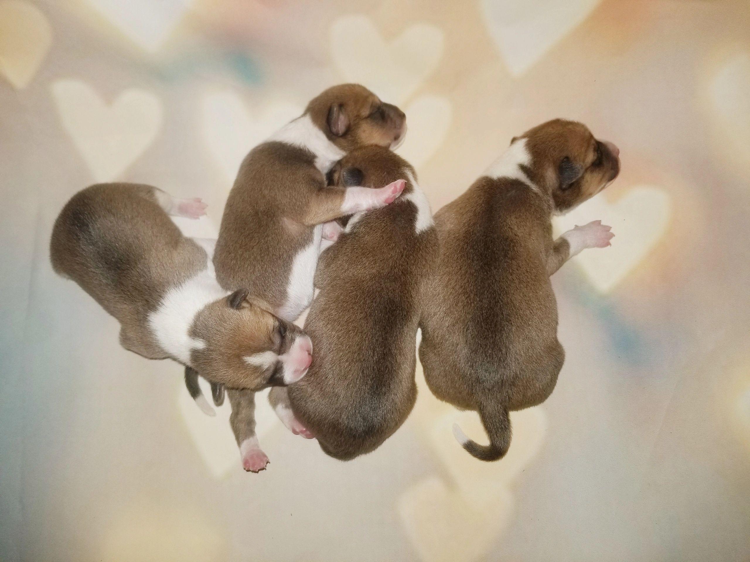 Basenji Puppies for Sale - Basenji Dogs