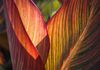 4614, Canna Lily Leaves