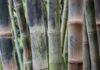 5258, Colorful Bamboo Stalks