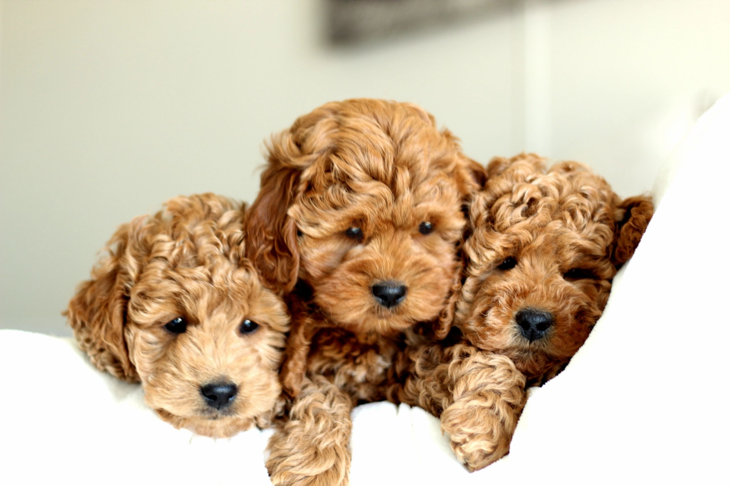 Golden River Puppies Miniature Goldendoodle Puppies For Sale